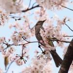初バードウォッチング!大阪城公園で野鳥を観てきたよ