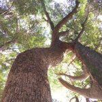 初詣で行った橋本八幡宮(木の葉モール裏)のクスの木とマキの木がつながっててロマンチックすぎる!|福岡県