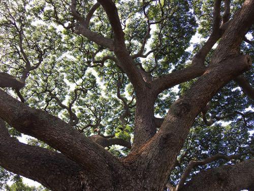 ハワイ,オアフ島,海外旅行,ツアー,初心者,ハウツリーラナイ,heavenly,グルメ,おすすめ,ウルフギャング,この木なんの木