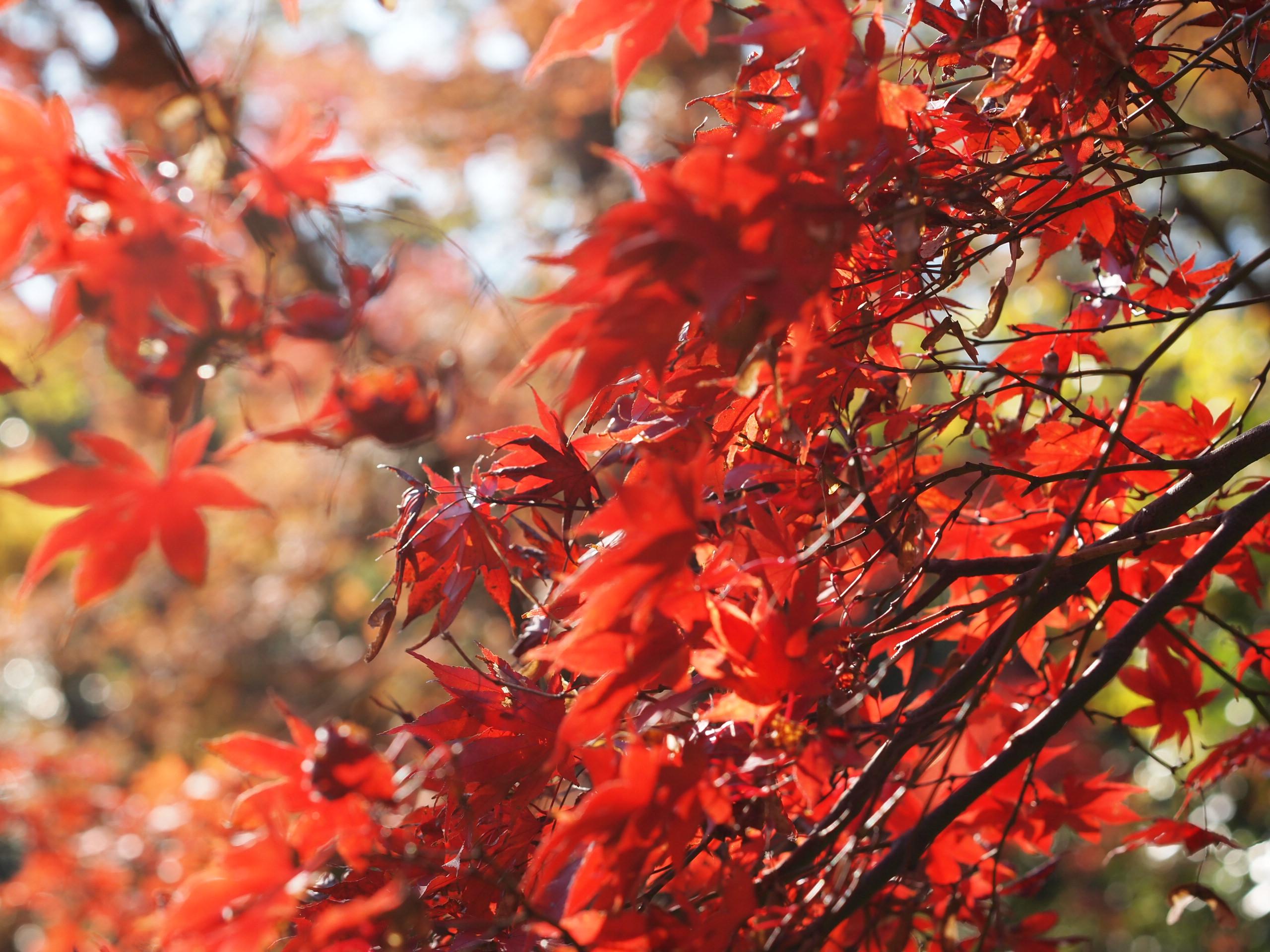 三渓園,横浜,本牧,根岸,紅葉,蛍,日本庭園,紅葉狩り